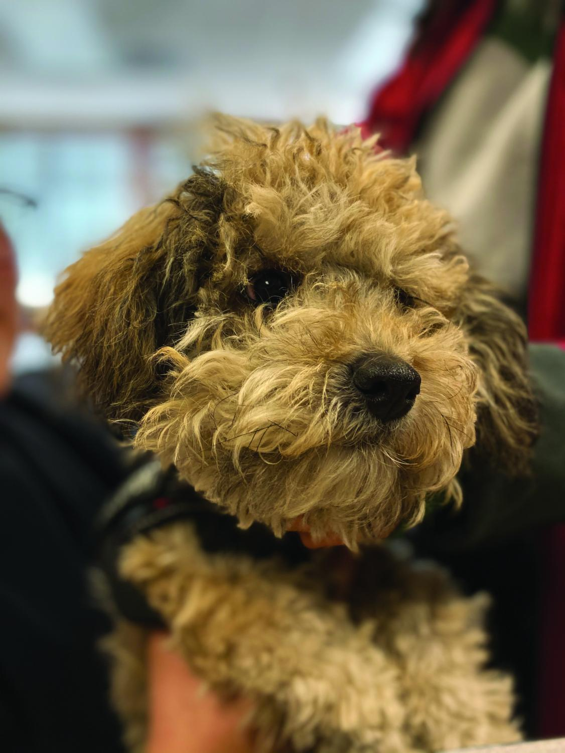 Kairo is an emotional support dog in Eghosa Hamilton's sociology and English classes.