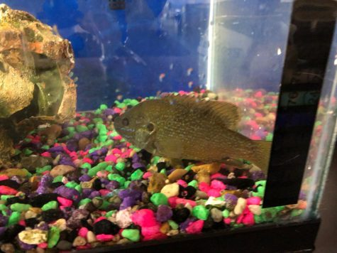 This fish was found swimming in a clogged world language bathroom sink before it was transferred to a tank by marine biology teacher Doug Mason. The fish died shortly after.